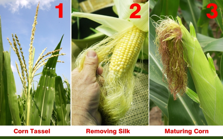 Did You Know Corn Silk