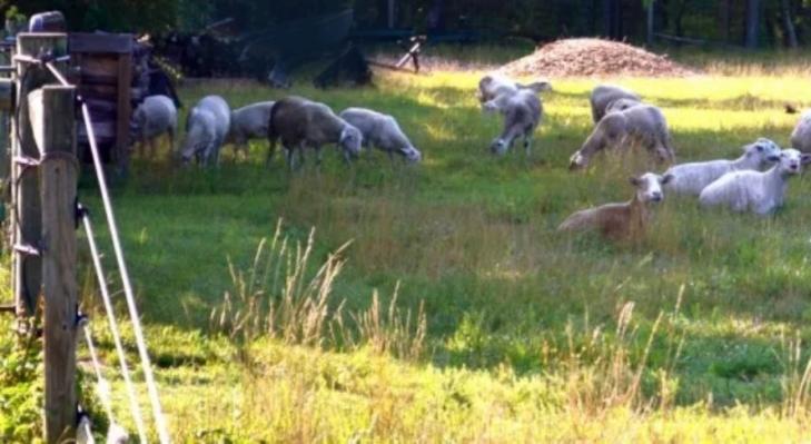 Pastured Lamb