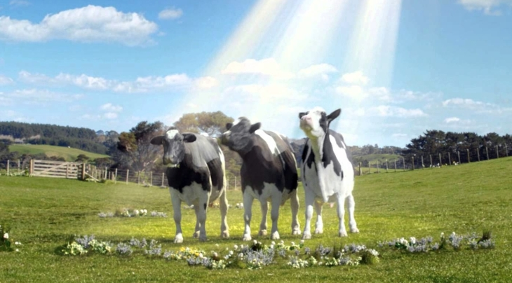 Weather Cows