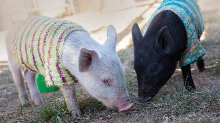 Sweater Pigs