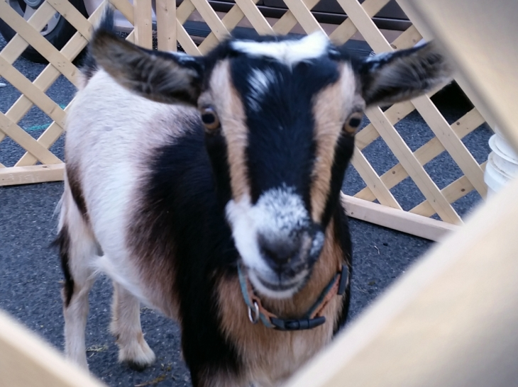 Goat Pet Detail
