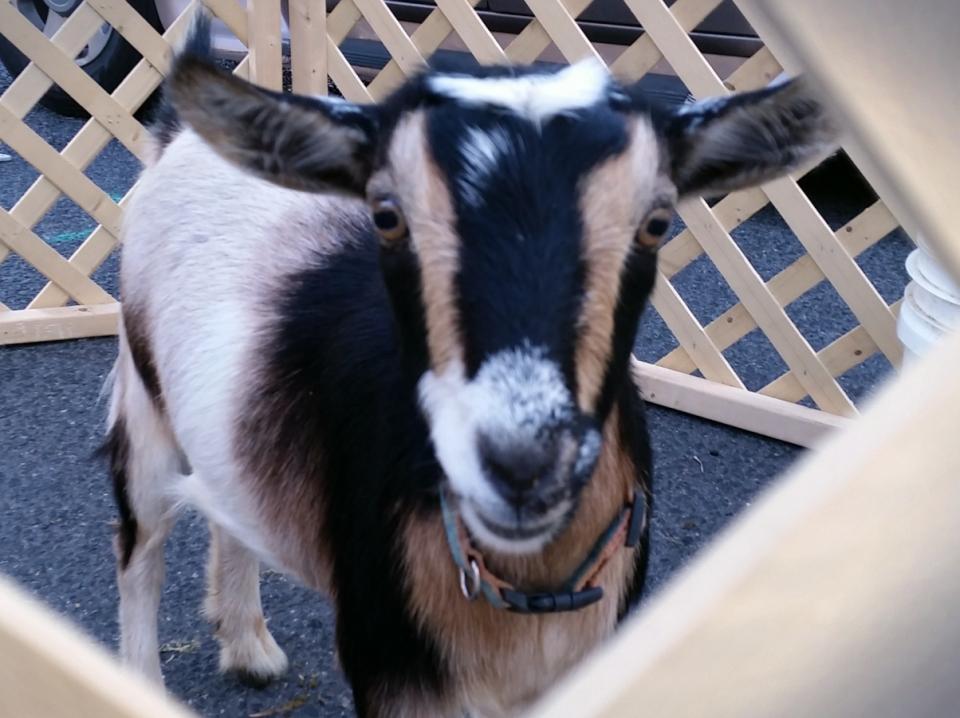 Goat Pet Detail