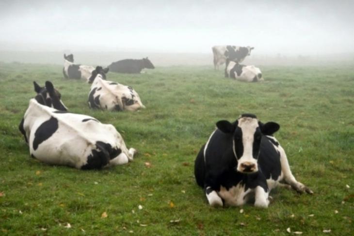 Wet Cows