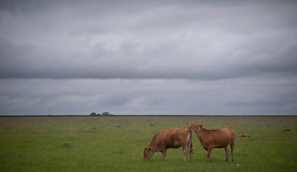 Cloudy Cows