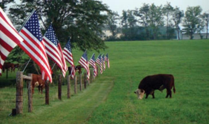 Patriotic Cows